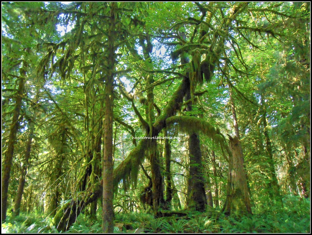 Quinault Rain Forest Nature Trail, Olympic National Park