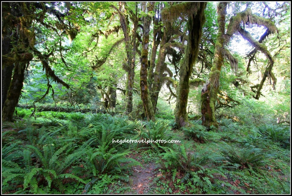 Spruce Nature Trail at Hoh Rain Forest, Olympic National Park