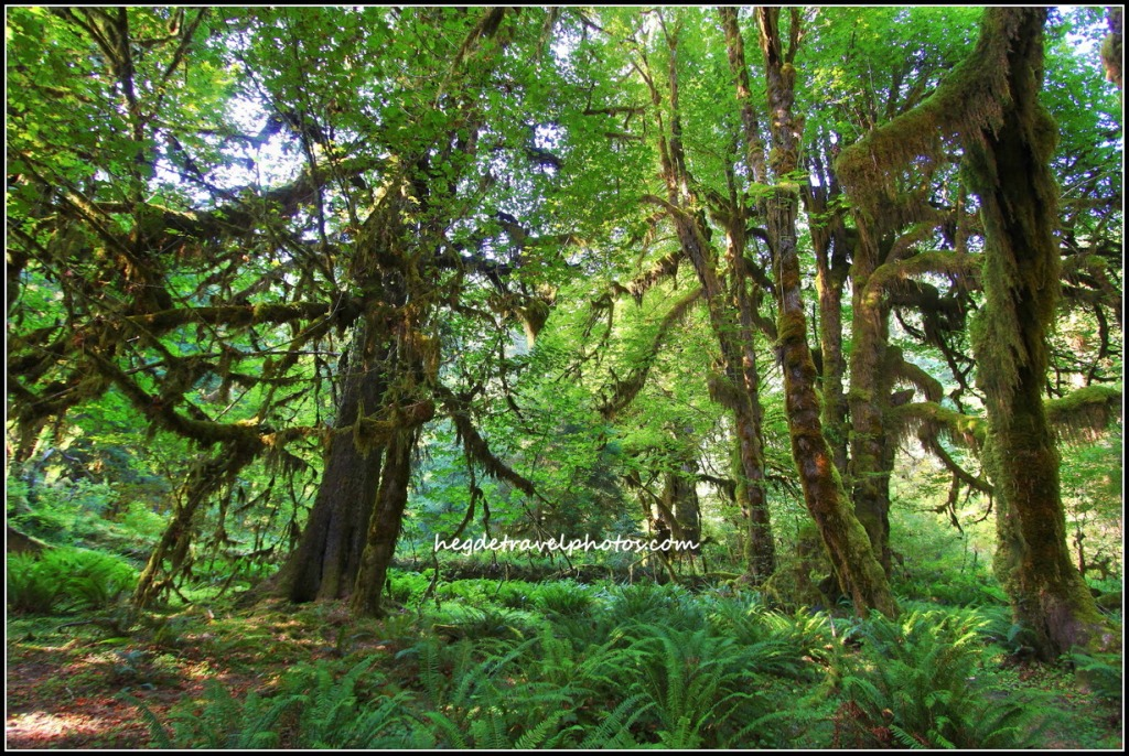 Hall of Mosses Trail at Hoh Rain Forest, Olympic National Park