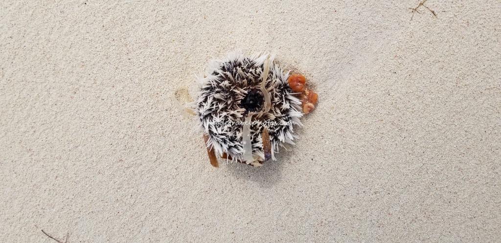 Dried Sea Urchin