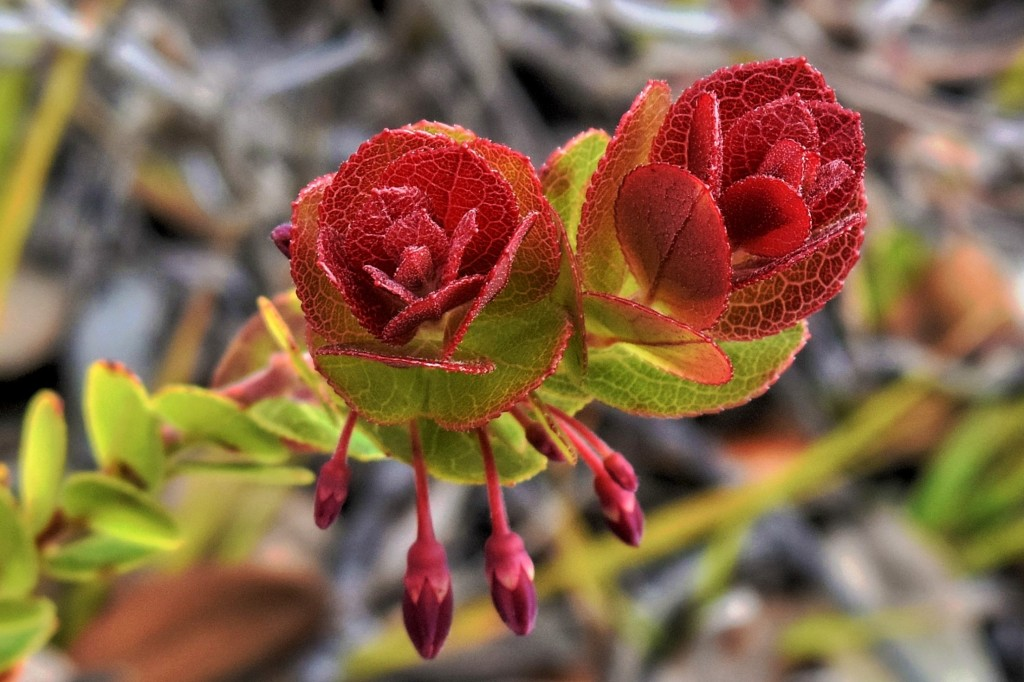 Flowers of the Ohelo, Hawaiʻi Volcanoes National Park